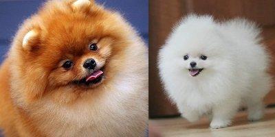 Pomerania hembra, pareja de cachorros hermosos